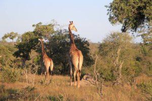 jirafa_bebe_sudafrica_safari_parque_kruger.jpg