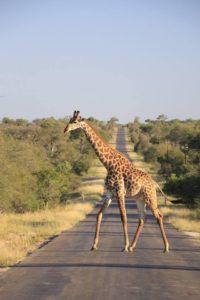 jirafas_safari_parque_kruger_sudafrica.jpg