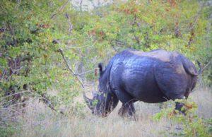 rinoceronte_safari_parque_kruger_klaserie_reserve_sudafrica.jpg
